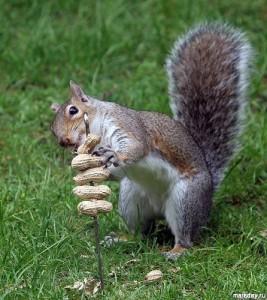 Белка ест орехи